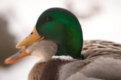 Mallard Duck 2